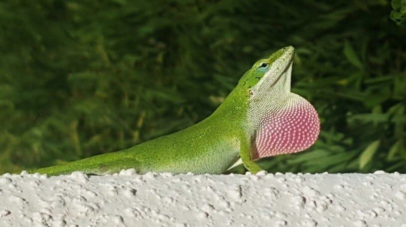 A male green anole throat puffing out