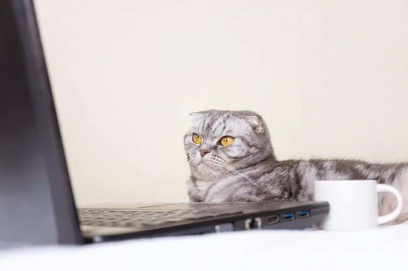 Black and gray striped scottish fold cat with yellow eyes looks at a laptop monitor while lying on a sofa