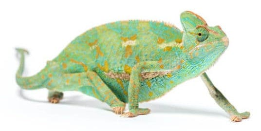 Close up photo of lizard reptile with white background