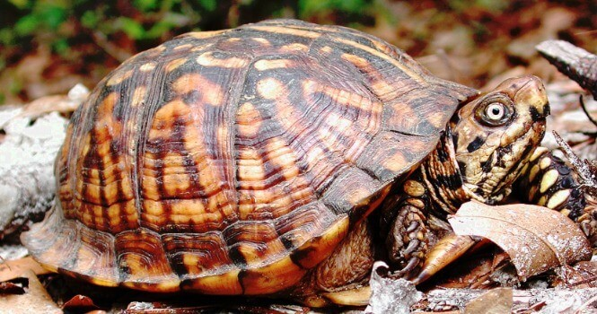 Eastern Box Turtle crawling on dry leafs