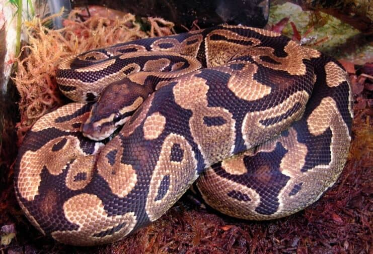 Female Ball Python snake in enclosure