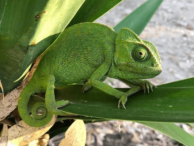 Green Chameleon on tree close up photo