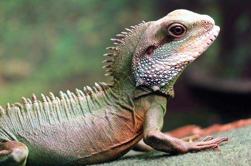 Green Chinese Water Dragon lizard close up photo