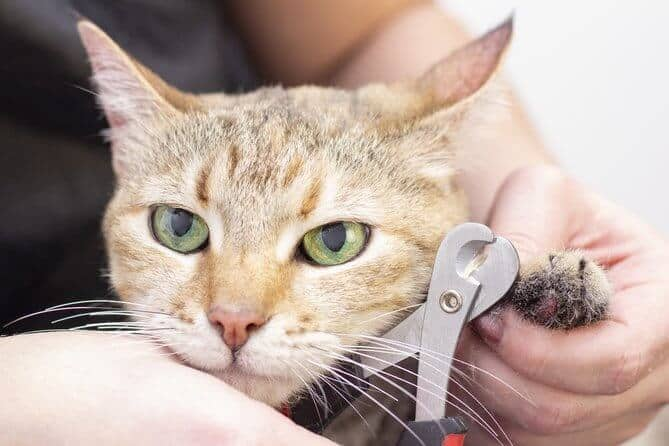 Groomer Cuts Cat Claws Salon For Animals Beautiful Cat In A Beauty Salon