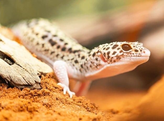 Leopard Gecko close up image