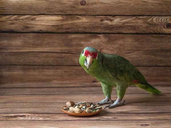 Parrot food is scattered on a wooden table. green amazon parrot eating the food