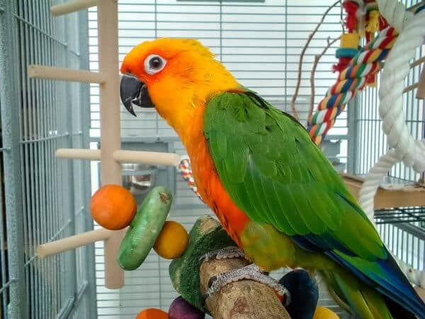 Parrot in cage close up photo