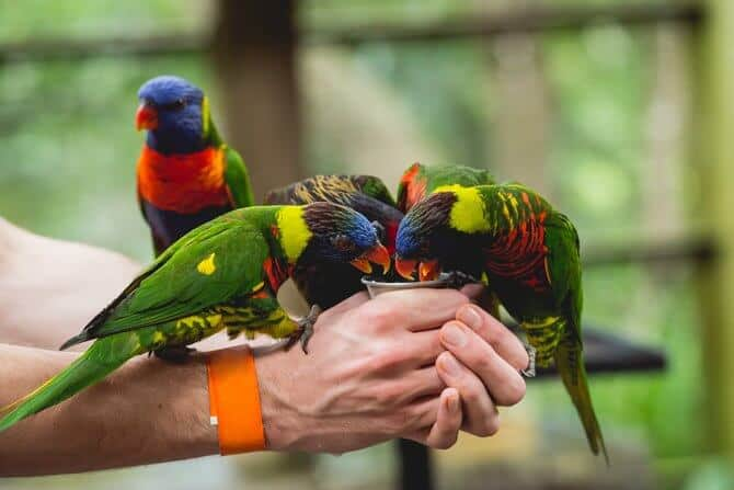 Parrots eating seeds from the human hand