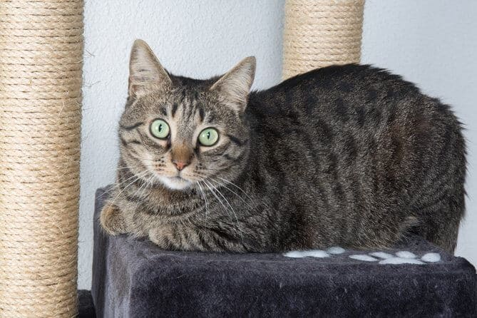 Portrait of green-eyed cat surprised with scratching post training isolated on grey background