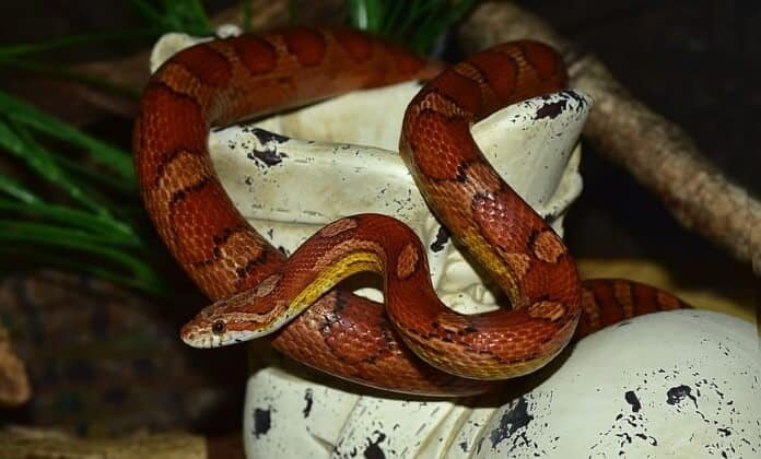 Red Corn Snake on stones close up photo