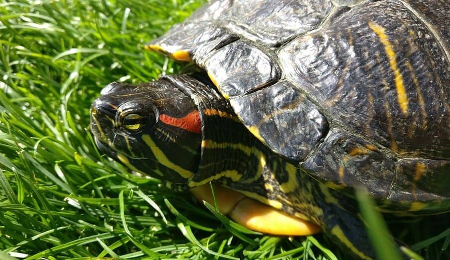 Red Eared Slider Turtle On Green Grass