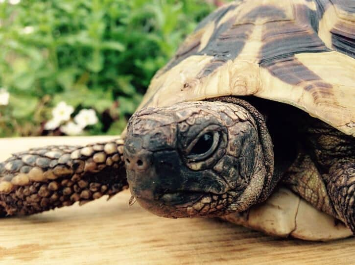 Russian Tortoise walking on wooden surface