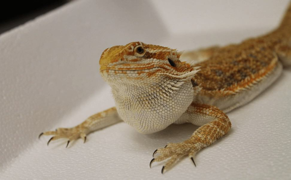 Young bearded dragon with swollen neck