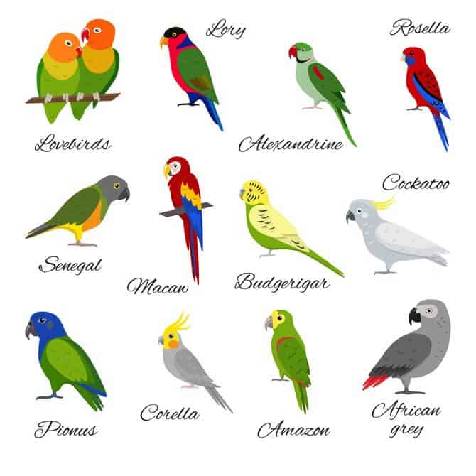 set of parrots breeds illustrating Best Pet Birds For Beginners