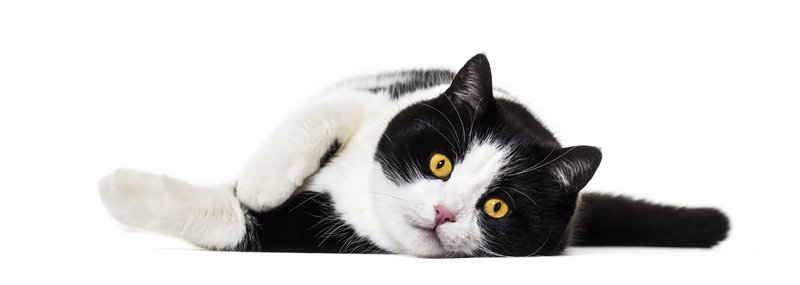Mixed breed cat lying on side