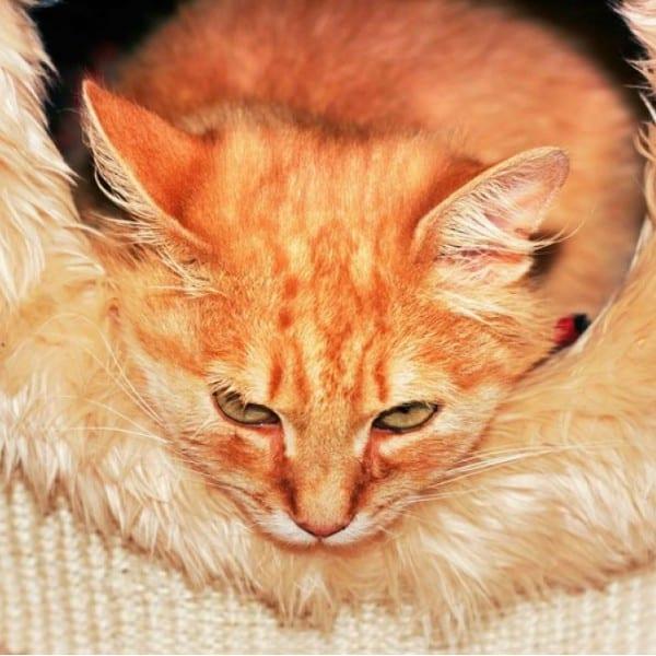 orange cat sleeping on woolen cat bed