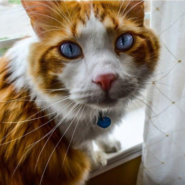 pretty orange cat with collar tag id