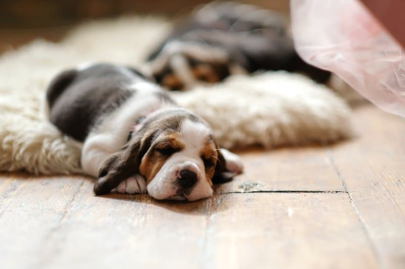 Little puppy on the floor