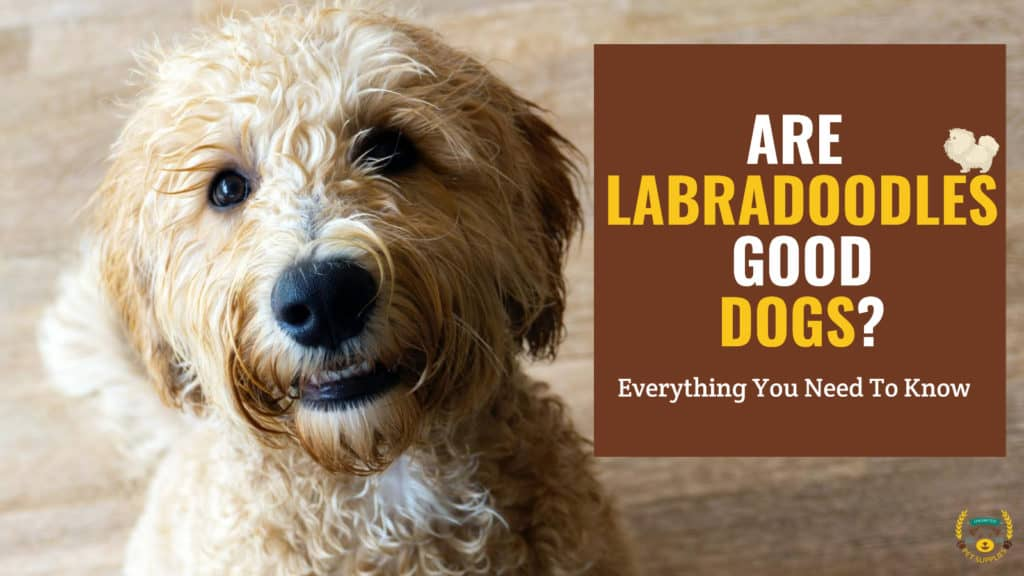 Are Labradoodles Good Dogs?