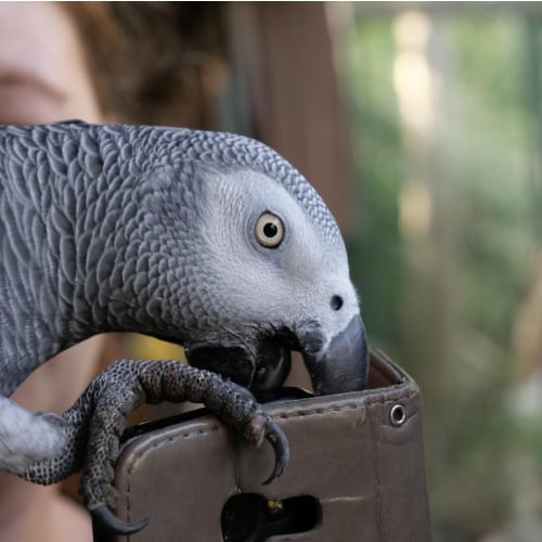 African Grey Parrot Toys