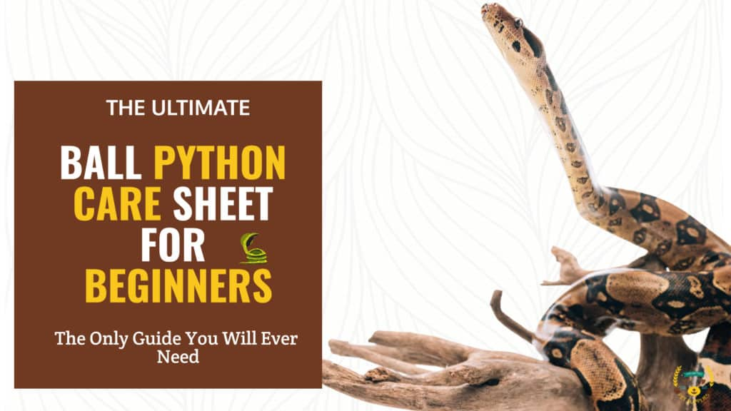 The Ultimate Ball Python Care Sheet For Beginners