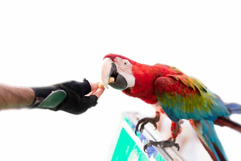 Man giving a nut to a parrot.